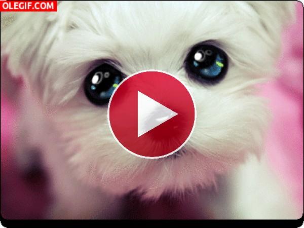GIF: Cachorro de ojos llorosos