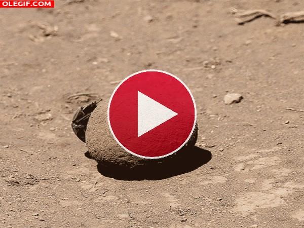 GIF: Mira a este escarabajo pelotero