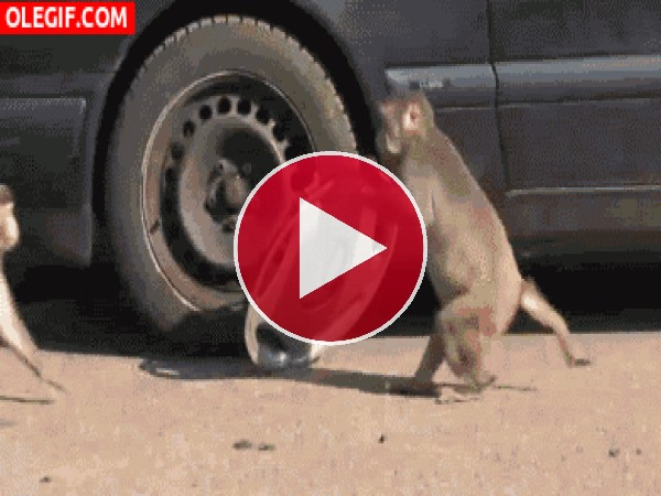 GIF: Estos monos son unos ladronzuelos