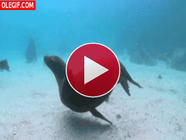 GIF: Esta foca es feliz nadando bajo el agua