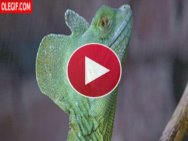 GIF: Lagrimas de lagarto