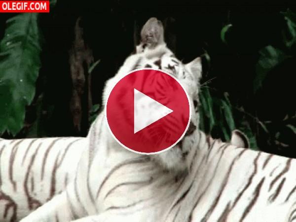 GIF: Mira a este hermoso tigre blanco