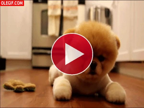 GIF: Este cachorro Pomerania parece un peluche