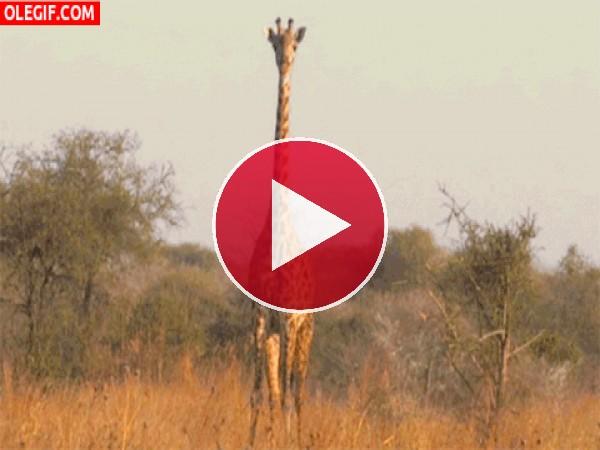 GIF: Una jirafa vigía