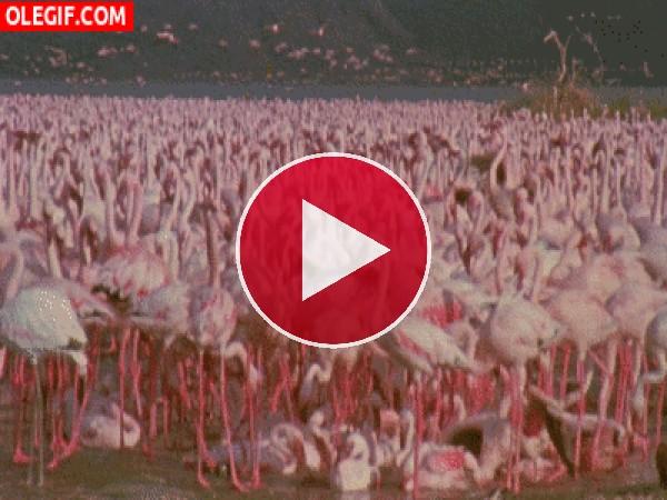 GIF: Bandada de flamencos