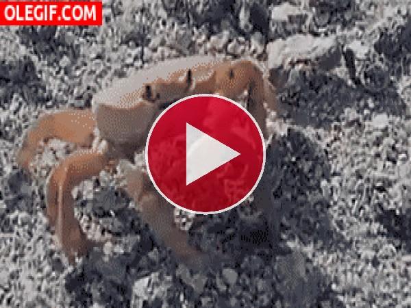 Mira a este cangrejo arrancándose la pinza