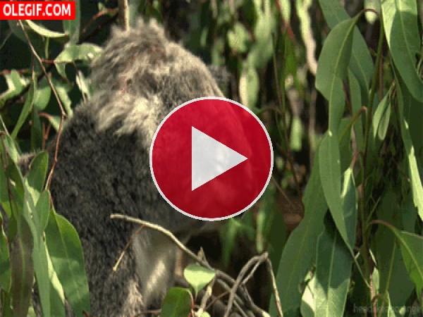Este koala come y duerme al mismo tiempo