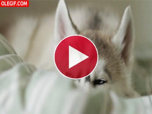 GIF: Mira a este lindo husky