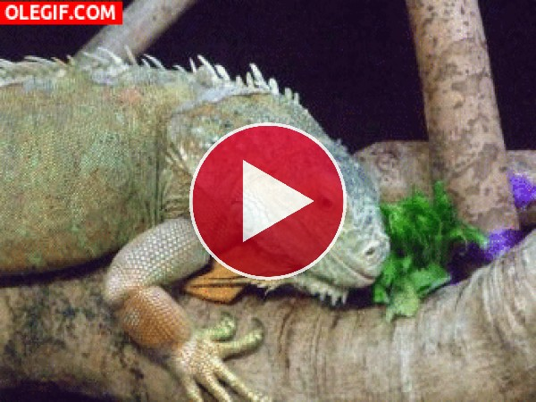 Mira a esta iguana sacando la lengua