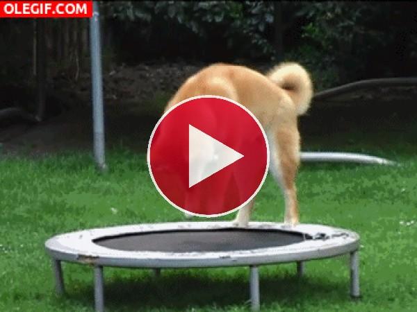 GIF: Este perro se divierte en la cama elástica