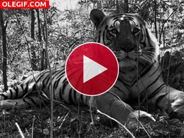 GIF: La respiración del tigre