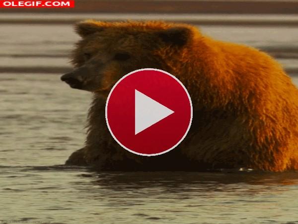 Un oso en remojo