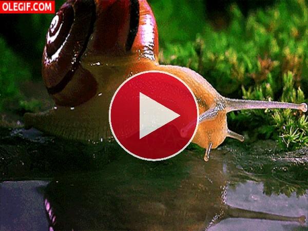 Mira cómo bebe agua este caracol