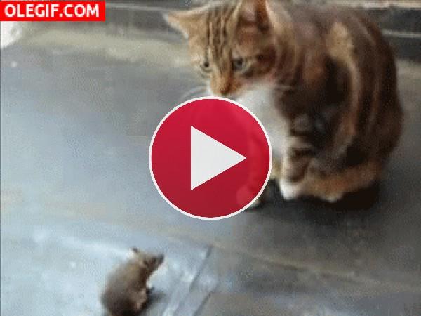 GIF: Esta rata no tiene ningún miedo