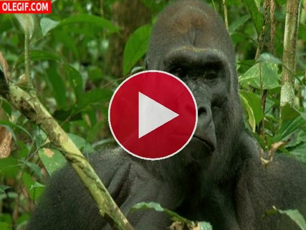 Mira cómo mastica el gorila