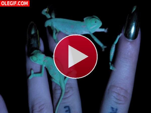 GIF: Pequeños camaleones entre los dedos