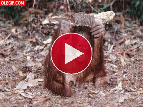 Orangután refugiándose de la lluvia