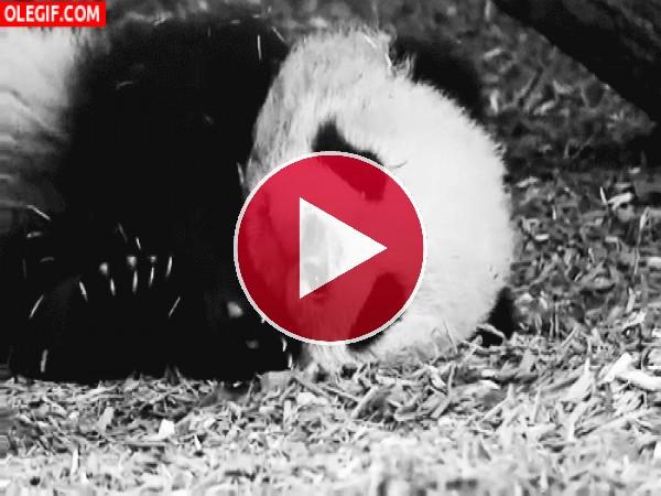 GIF: Un panda juguetón