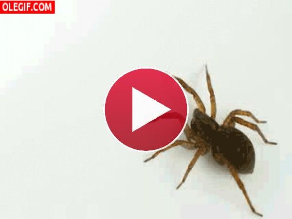 GIF: Esta araña es muy inquieta