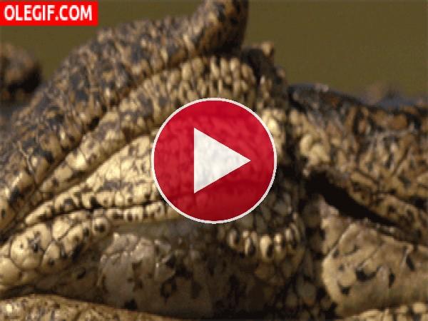 GIF: El ojo de un cocodrilo