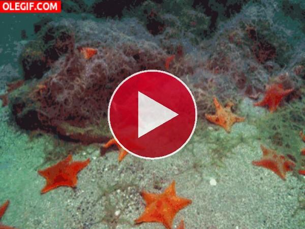 Estrellas de mar moviéndose por el fondo marino