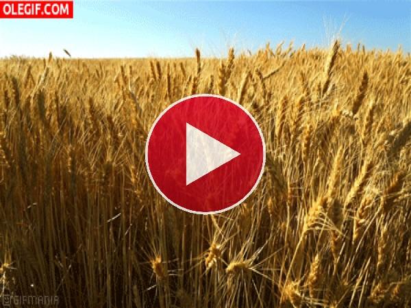 Aire meciendo el trigo