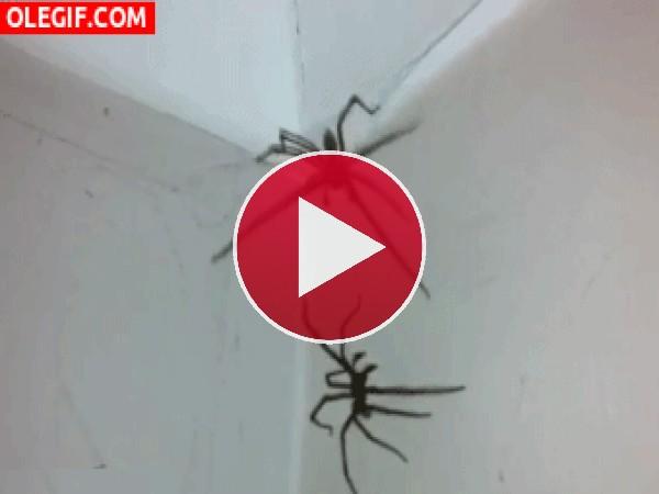 Pelea de arañas