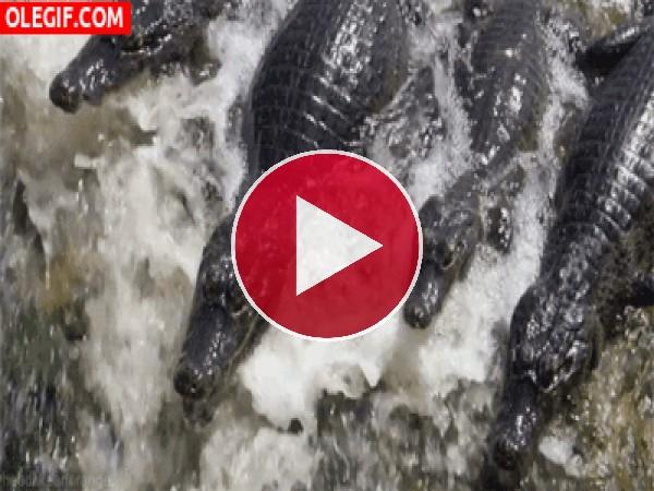 GIF: Cocodrilos en el río