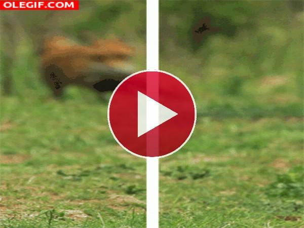 GIF: ¡Qué viene el zorro!