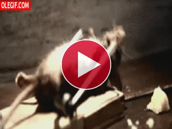 Ratón haciendo abdominales