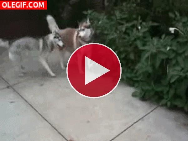 Un husky muy juguetón