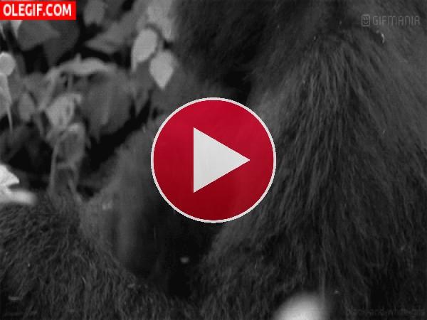 Mira a este lindo bebé gorila