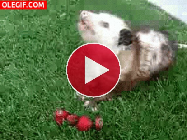 Mira a esta zarigüeya comiendo fresas