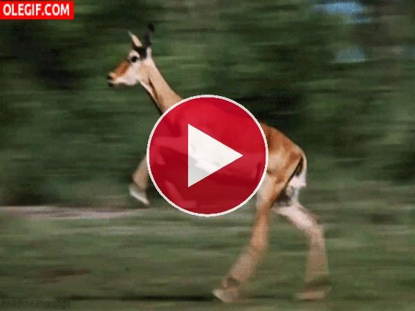 GIF: Mira a este antílope corriendo