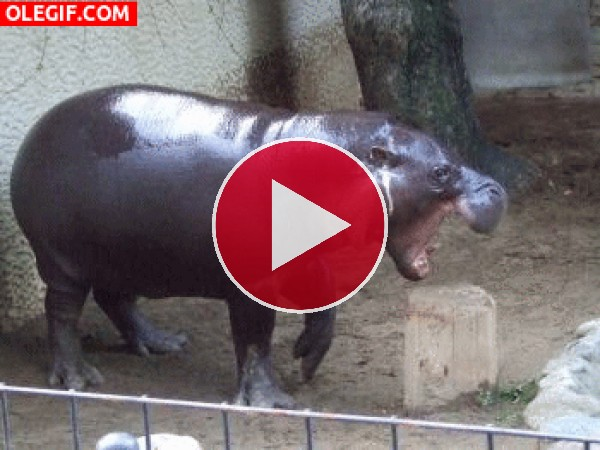 GIF: Este pequeño hipopótamo tiene hambre