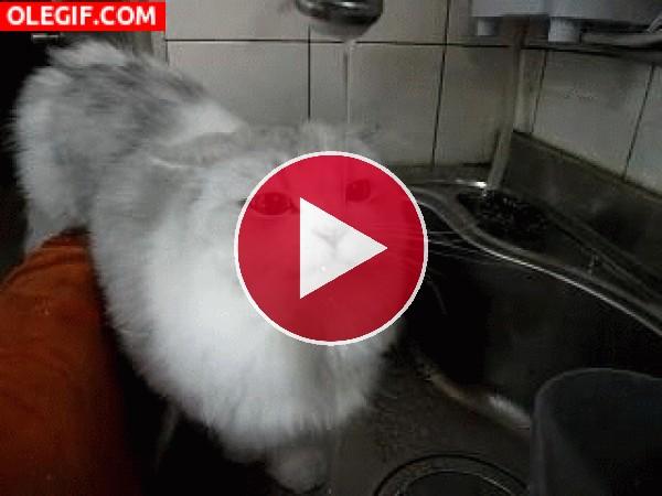 GIF: Este gato tiene mucha sed