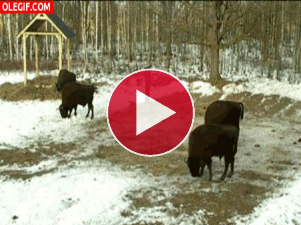 Bisontes en la nieve