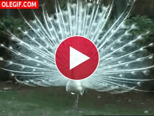 Mira a este pavo real de color blanco