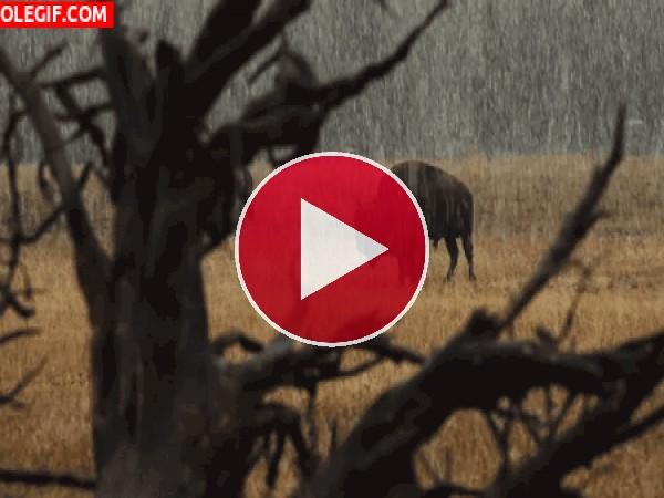 Bisonte bajo la lluvia