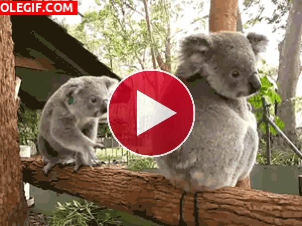 GIF: Estos koalas son muy juguetones