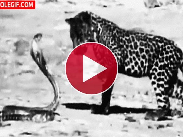 Mira a este joven leopardo intentando atrapar a la cobra
