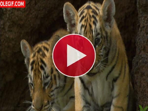 Mira a estos lindos cachorros de tigre