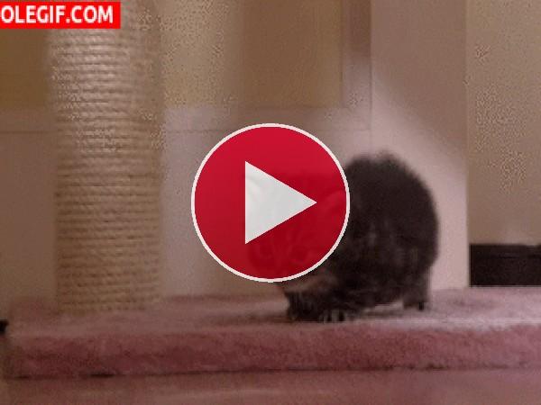 Mira cómo camina este gatito