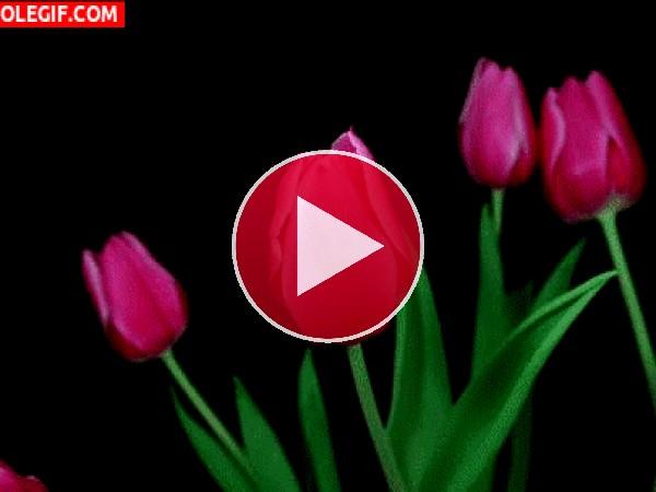 Tulipanes abriendo sus pétalos