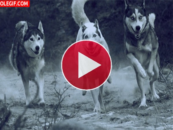 Huskies corriendo