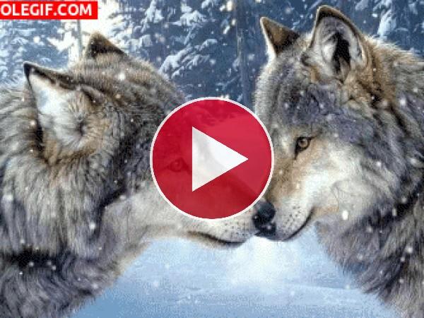 GIF: Pareja de lobos
