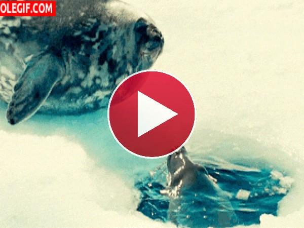 Mira a estas focas dándose un beso