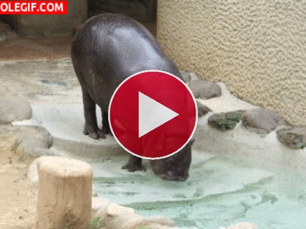 GIF: Pequeño hipopótamo bebiendo agua