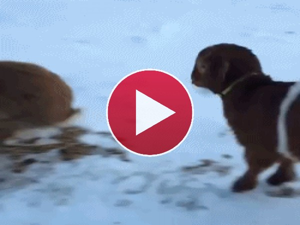 Mira a este perro imitando al conejo