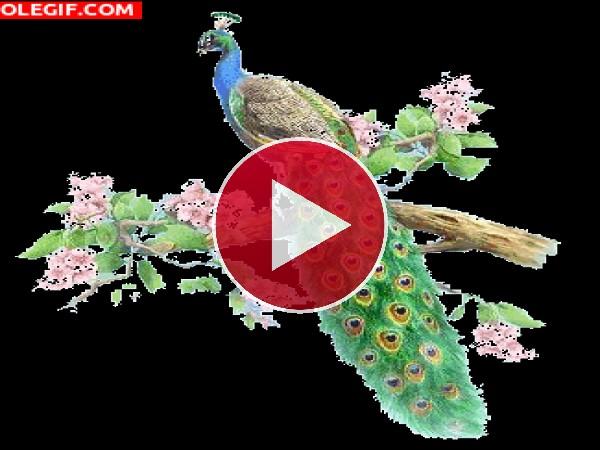 GIF: Hermoso pavo real en una rama